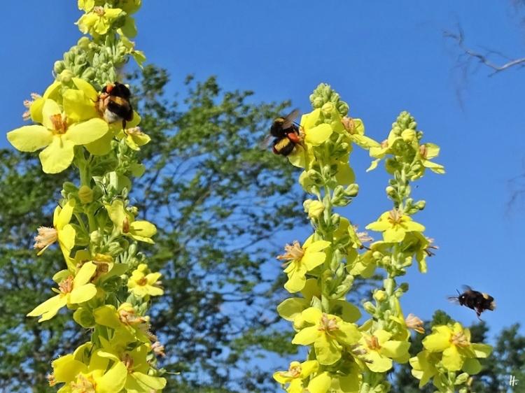 2020-06-27 LüchowSss Garten Kandelaber-Königskerzen (Verbascum olympicum) + Dunkle Erdhummeln (Bombus terrestris) (1)