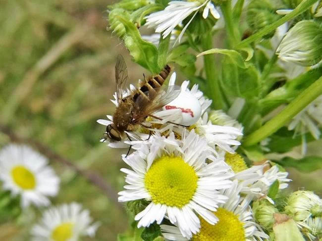 2020-06-29 LüchowSss Garten Feinstrahl (Erigeron annuus) + Gewöhnliche Stilettfliege (Thereva nobilitata) + Veränderliche Krabbenspinne (Misumena vatia) (2)