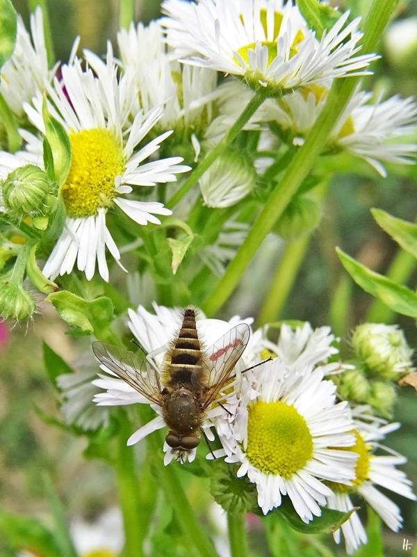 2020-06-29 LüchowSss Garten Feinstrahl (Erigeron annuus) + Gewöhnliche Stilettfliege (Thereva nobilitata) + Veränderliche Krabbenspinne (Misumena vatia) (3)