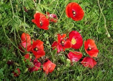 2020-06-20 LüchowSss Garten Klatschmohn (Papaver rhoeas) Rot in Dunkel & Blond (3)
