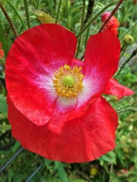 2020-06-20 LüchowSss Garten Klatschmohn (Papaver rhoeas) Seidenmohn in Rot-Pink-Weiss-Blond