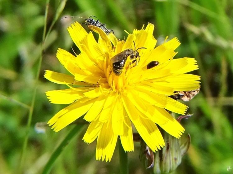 2020-06-21 LüchowSss Garten Ferkelkraut + Wildbiene + Schenkelkäfer + kl. brauner Käfer