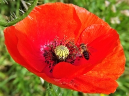 2020-06-21 LüchowSss Garten Klatschmohn (Papaver rhoeas) + Wildbiene (1)