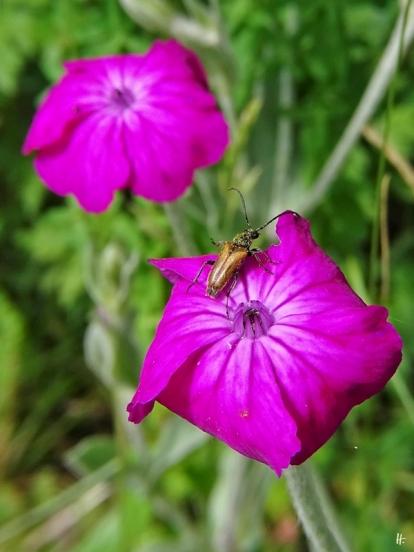 2020-06-21 LüchowSss Garten Kronen-Lichtnelke bzw. Vexiernelke (Lychnis coronaria) + Schwarzspitziger Halsbock (Corymbia fulva)