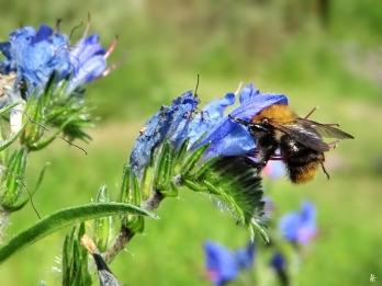 2020-06-23 LüchowSss Garten Gewöhnlicher bzw. Blauer Natternkopf (Echium vulgare) + Ackerhummel (Bombus pascuorum) (1)