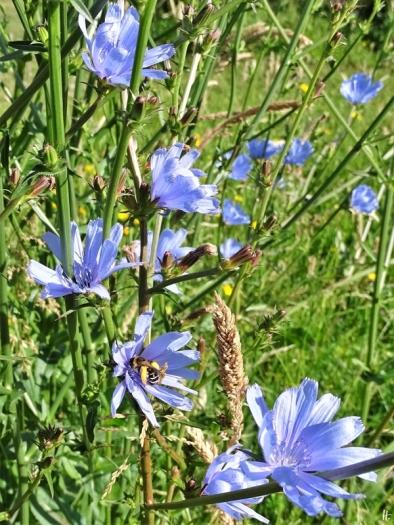 2020-06-23 LüchowSss Garten Wegwarte (Cichorium intybus) + Hosenbiene (Dasypoda spec.) (2)