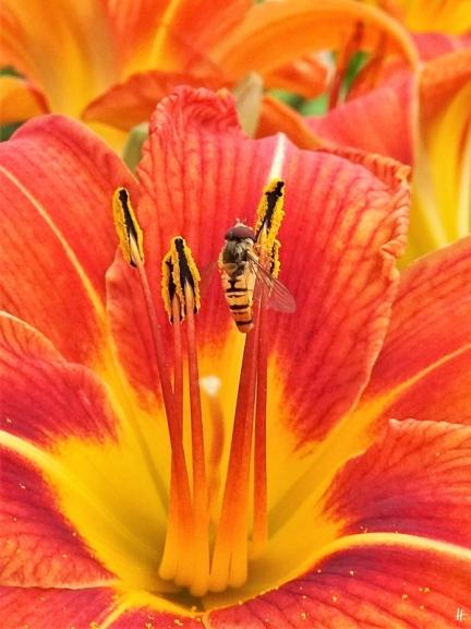 2020-06-25 LüchowSss Garten Braunrote bzw. Bahnwärter-Taglilie (Hemerocallis fulva) + Hain-Schwebfliege (Episyrphus balteatus)