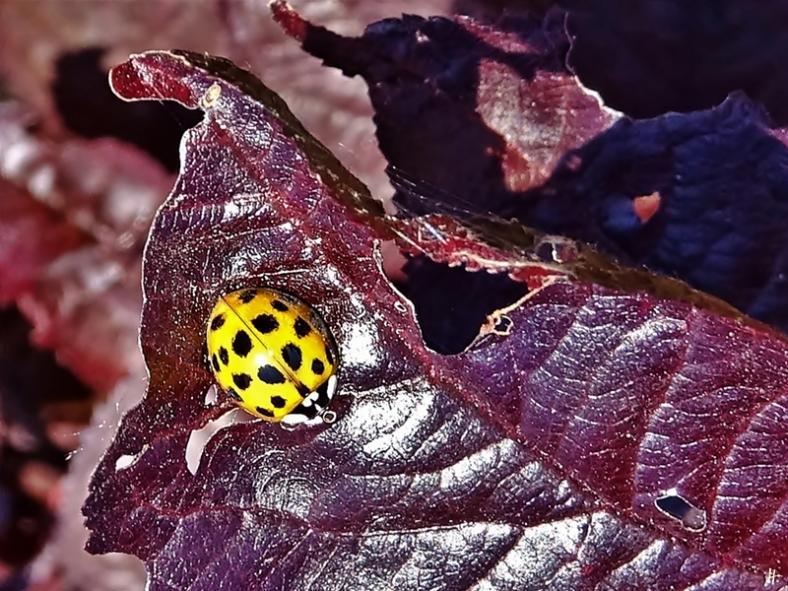2020-06-26 LüchowSss Garten Asiatischer Marienkäfer (Harmonia axyridis) auf Blutpflaume (Prunus cerasifera 'Nigra')