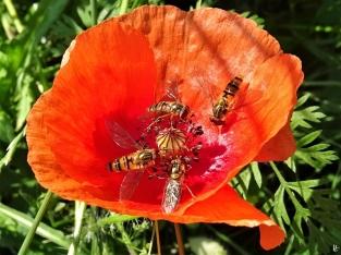 2020-06-26 LüchowSss Garten Klatschmohn (Papaver rhoeas) + 4x Hain-Schwebfliege (Episyrphus balteatus) (1)