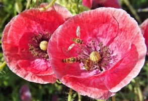 2020-06-26 LüchowSss Garten Klatschmohn (Papaver rhoeas var.) Seidenmohn + 3x Hain-Schwebfliege (Episyrphus balteatus) (2)