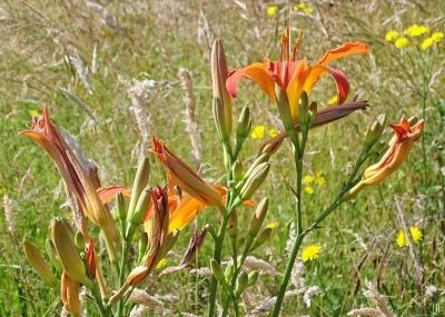 2020-06-26 LüchowSss Garten Braunrote bzw. Bahnwärter-Taglilien (Hemerocallis fulva) in eigener Wieseninsel (5)
