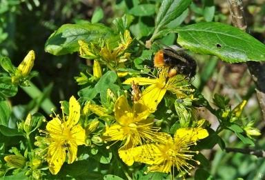 2020-06-26 LüchowSss Garten Tüpfel-Johanniskraut (Hypericum perforatum) + Steinhummel (Bombus lapidarius) (2)