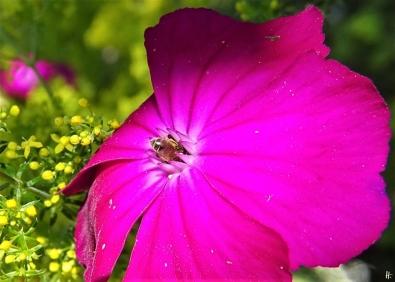 2020-06-26 LüchowSss Garten Vexiernelke bzw. Kronen-Lichtnelke (Lychnis coronaria) + sehr kleine Wildbiene (1)