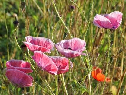 2020-06-27 LüchowSss Garten Klatschmohn (Papaver rhoeas var.) Seidenmohn rosa-weiss geädert (1)