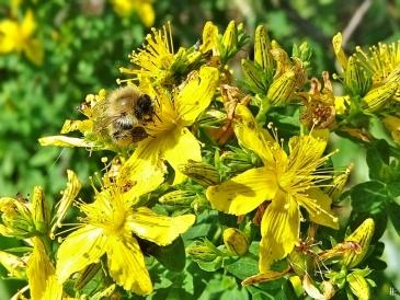 2020-06-27 LüchowSss Garten Tüpfel-Johanniskraut (Hypericum perforatum) + wahrscheinl. Ackerhummel (Bombus pascuorum) hell