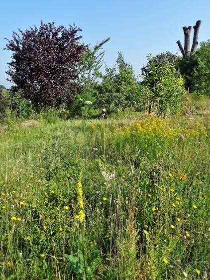 2020-06-27 LüchowSss Garten Tüpfel-Johanniskraut (Hypericum perforatum) + Wieseninsel