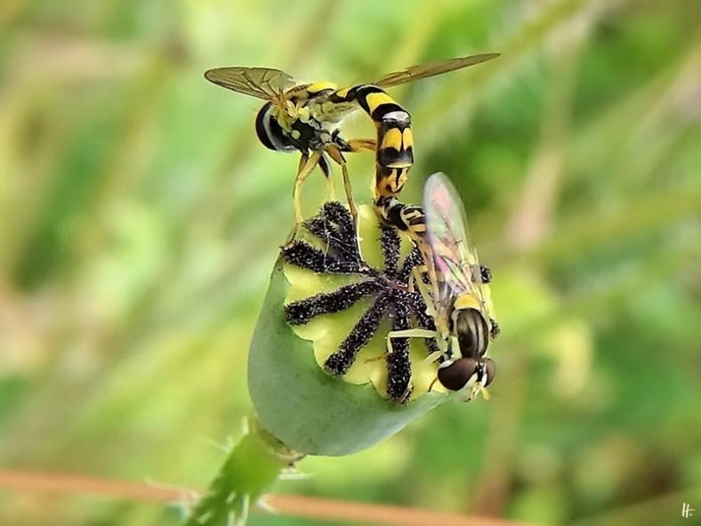 2020-06-29 LüchowSss Garten Gewöhnliche Langbauchschwebfliege (Sphaerophoria scripta) bzw. Stiftschwebfliegen-Paar