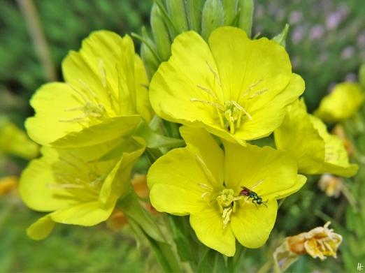 2020-06-29 LüchowSss Garten Gewöhnliche Nachtkerze (Oenothera biennis) + Gemeine Goldwespe (Chrysis ignita) (1)