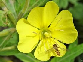 2020-06-29 LüchowSss Garten Gewöhnliche Nachtkerze (Oenothera biennis) + Hain-Schwebfliege (Episyrphus balteatus) (1)