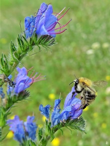 2020-06-29 LüchowSss Garten Gewöhnlicher bzw. Blauer Natternkopf (Echium vulgare) + Ackerhummel (Bombus pascuorum) (3)