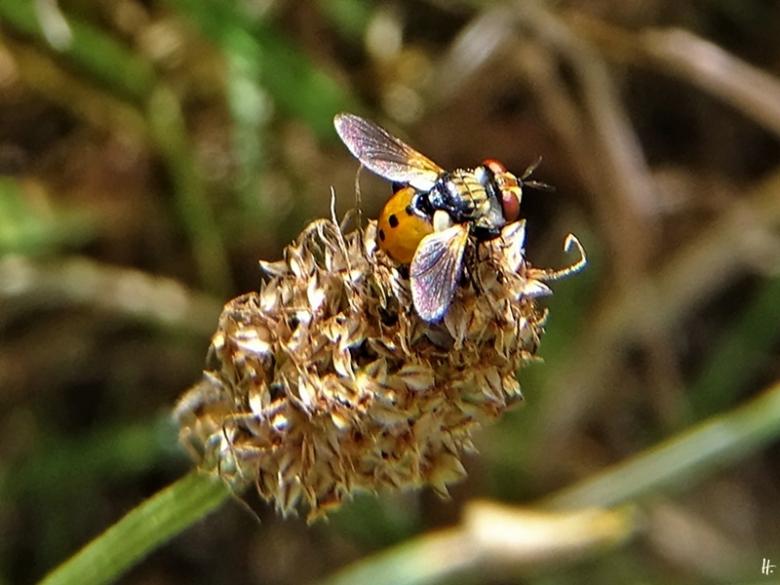 2020-06-29 LüchowSss Garten Raupenfliege Gymnosoma rotundatum
