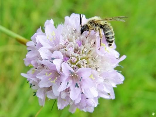2020-06-29 LüchowSss Garten Strand-Grasnelken (Armeria maritima) + Gemeine Seidenbiene (Colletes daviesanus) männlich (2)