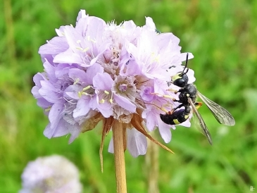 2020-06-29 LüchowSss Garten Strand-Grasnelken (Armeria maritima) + Bienenjagende Knotenwespe (Cerceris rybyensis)