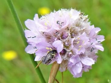2020-06-29 LüchowSss Garten Strand-Grasnelken (Armeria maritima) + kleine Wildbiene