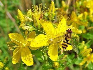 2020-06-29 LüchowSss Garten Tüpfel-Johanniskraut (Hypericum perforatum) + Grosse Schwebfliege (Syrphus ribesii) (2)