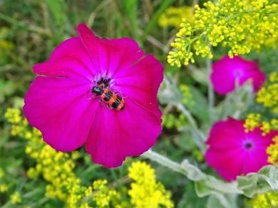 2020-06-29 LüchowSss Garten Vexiernelken bzw. Kronen-Lichtnelke (Lychnis coronaria) + Gewöhnlicher Bienenkäfer (Trichodes apiarius) + Echtes Labkraut (Galium verum)