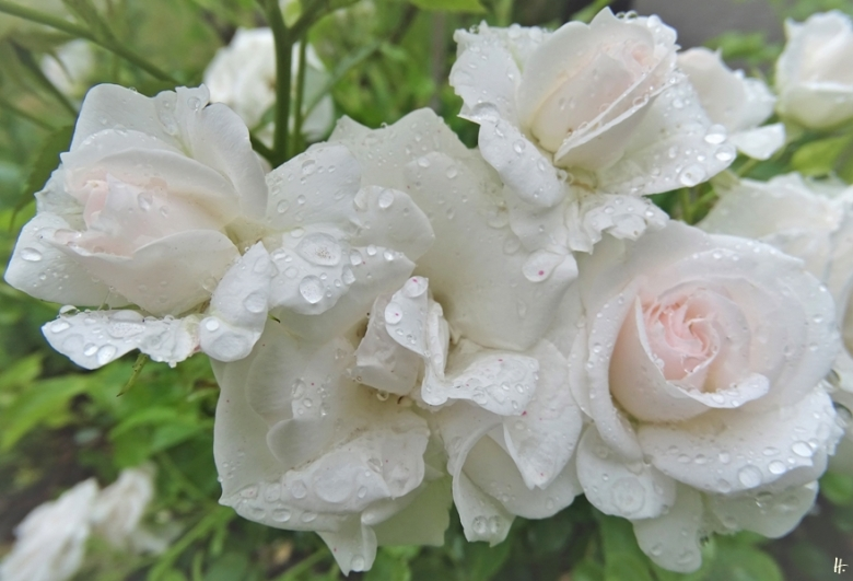 2020-07-01 LüchowSss Garten Beetrose 'Aspirin' (v. Tantau)