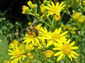2020-07-02 LüchowSss Garten Braunbürstige Hosenbiene (Dasypoda hirtipes) + Jakobsgreiskraut (Senecio jacobaea)