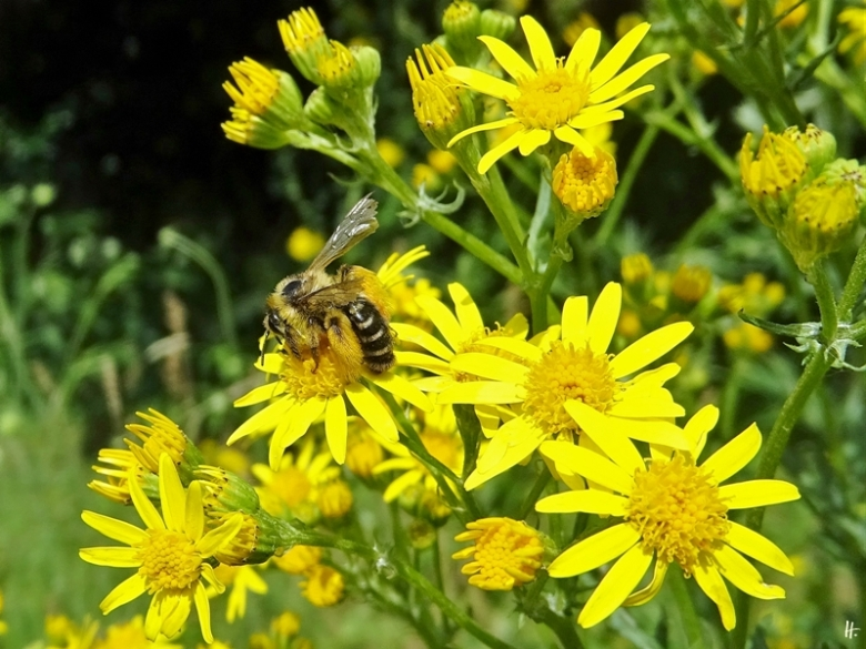 2020-07-02 LüchowSss Garten Braunbürstige Hosenbiene (Dasypoda hirtipes) + Jakobsgreiskraut (Senecio jacobaea bzw. Jacobaea vulgaris)