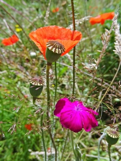 2020-07-03 LüchowSss Garten Vexiernelke bzw. Kronen-Lichtnelke (Lychnis coronaria) + Klatschmohn (Papaver rhoeas)