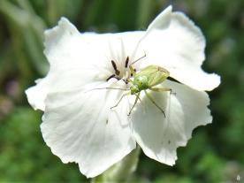 2020-07-03 LüchowSss Garten Vexiernelke bzw. Kronen-Lichtnelke (Lychnis coronaria) weiss + grüne Wanzen-Larve