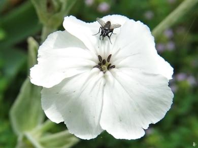 2020-07-03 LüchowSss Garten Vexiernelke bzw. Kronen-Lichtnelke (Lychnis coronaria) weiss + kl. Fliege (1)