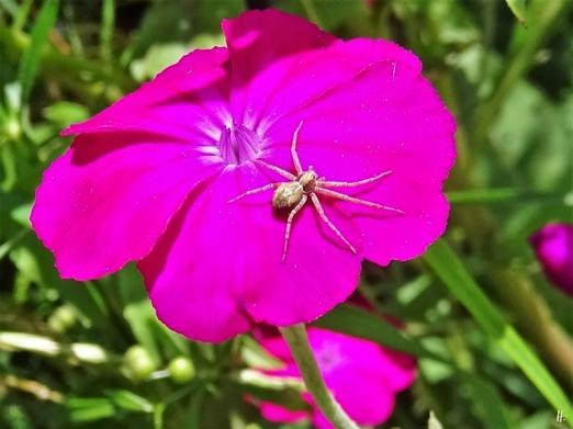 2020-07-03 LüchowSss Garten Vexiernelke bzw. Kronen-Lichtnelke + vernutl. eine Krabbenspinnenart (Thomisidae) (1)