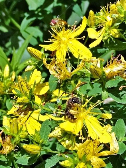 2020-07-06 LüchowSss Garten Getüpfeltes Johanniskraut (Hypericum perforatum) + Wildbiene + Schwebfliege (2)