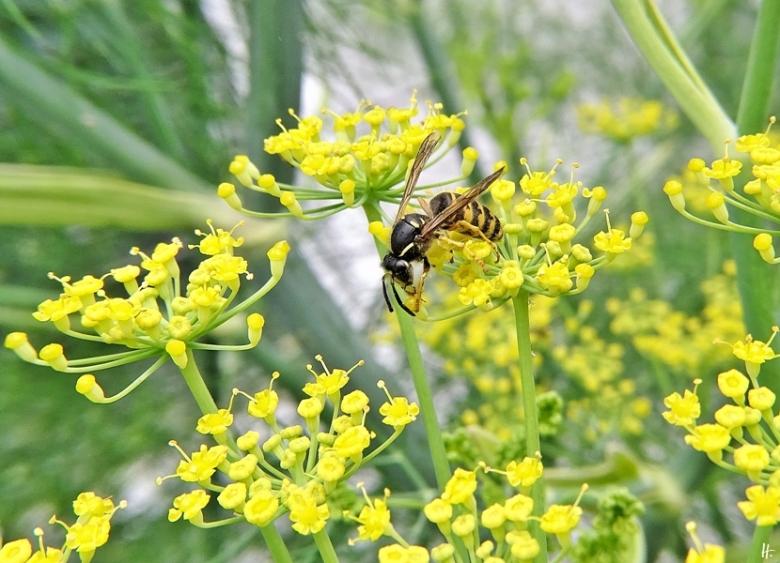 2020-07-08 LüchowSss Garten blühender Fenchel (Foeniculum vulgare) + Sächsische Wespe (Dolichovespula saxonica)