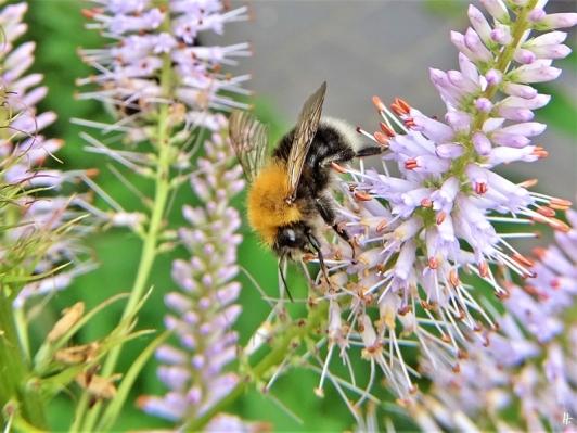 2020-07-08 LüchowSss Garten Kandelaber-Ehrenpreis (Veronicastrum virginicum) + männl. Baumhummel (Bombus hypnorum) (5)