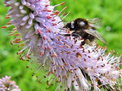 2020-07-08 LüchowSss Garten Kandelaber-Ehrenpreis (Veronicastrum virginicum) + weibl. Baumhummel (Bombus hypnorum) (3)