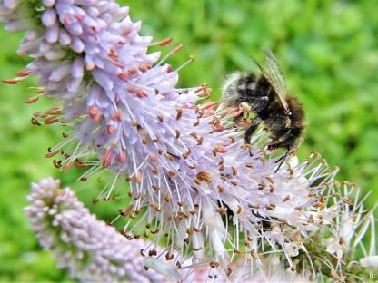 2020-07-08 LüchowSss Garten Kandelaber-Ehrenpreis (Veronicastrum virginicum) + weibliche Baumhummel (Bombus hypnorum) (1)