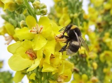 2020-07-08 LüchowSss Garten Kandelaber-Königskerze (Verbascum olympicum) + vermutl. Kryptarum-Hummel (Bombus cryptarum)