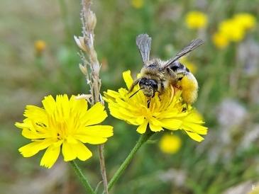 2020-07-08 LüchowSss Garten Kleinköpfiger Pippau (Crepis capillaris) + Braunbürstige bzw. Rauhfüssige Hosenbiene (Dasypoda hirtipes) (2)