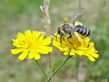 2020-07-08 LüchowSss Garten Kleinköpfiger Pippau (Crepis capillaris) + Braunbürstige bzw. Rauhfüssige Hosenbiene (Dasypoda hirtipes) (3)