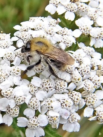 2020-07-08 LüchowSss Garten Schafgarbe (Achillea millefolium) + Ackerhummel (Bombus pascuorum)