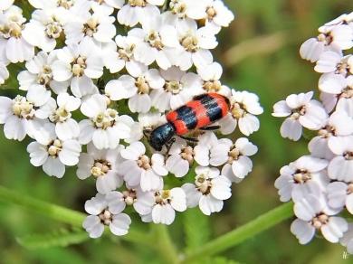 2020-07-08 LüchowSss Garten Schafgarbe (Achillea millefolium) + Gemeiner Bienenkäfer (Trichodes apiarius)
