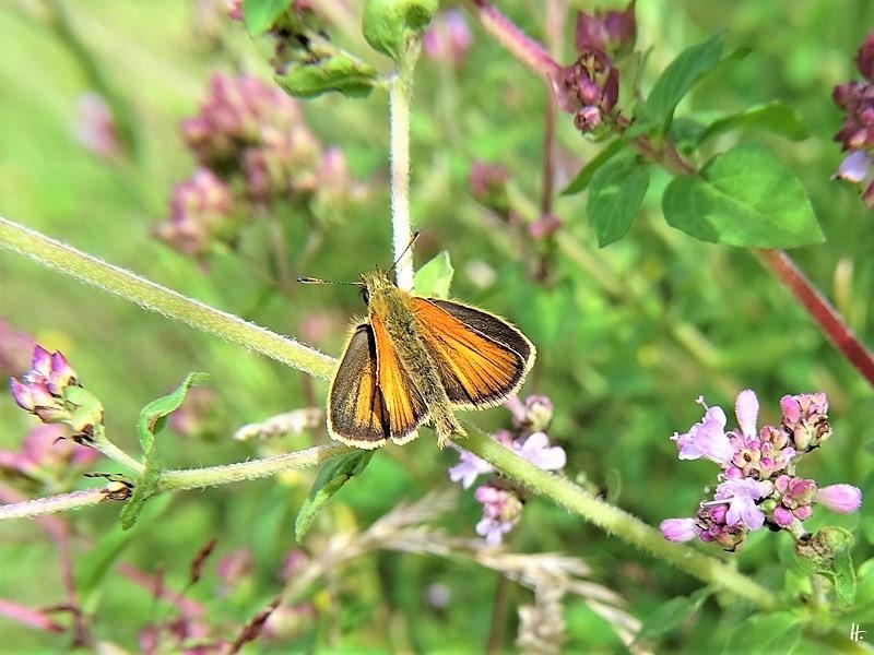 2020-07-08 LüchowSss Garten Wilder Dost (Origanum vulgare) + Braunkolbiger Braundickkopffalter (Thymelicus sylvestris)