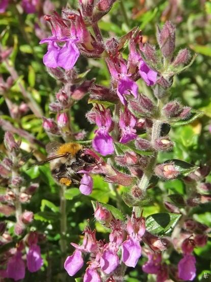 2020-07-11 LüchowSss Garten Immergrüner Gamander (Teucrium x lucidrys) + Ackerhummel (Bombus pascuorum)
