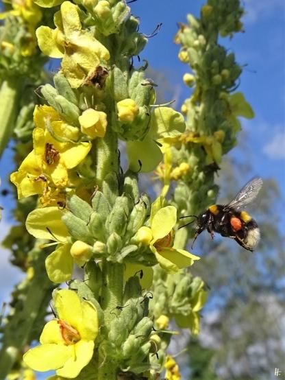 2020-07-11 LüchowSss Garten Kandelaber-Königskerze (Verbascum olympicum) + Dunkle Erdhummel (Bombus terrestris)